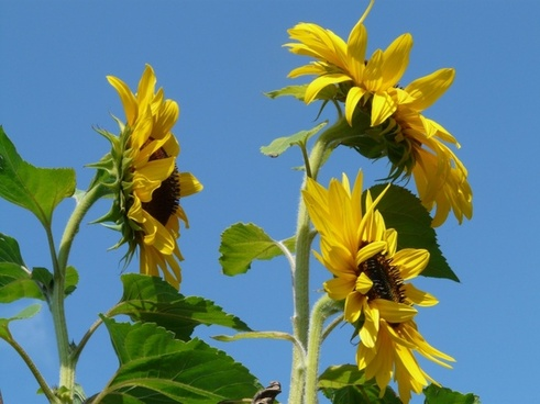 sun flower helianthus annuus flower
