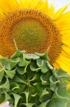 sun flower herbal oils plant