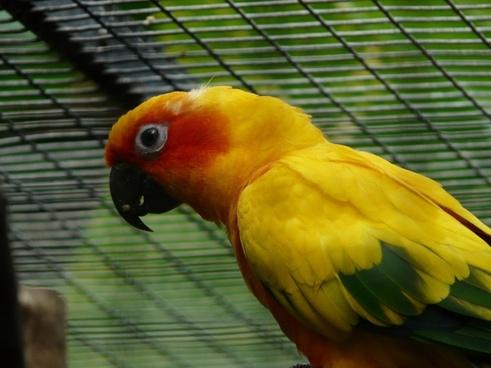 sun parakeet parrot aratinga solstitialis
