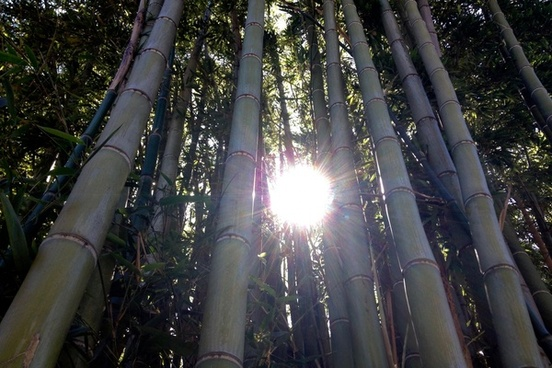 sun shining through bamboo trees