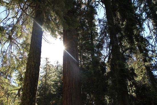 sun shining through sequoia tree forest