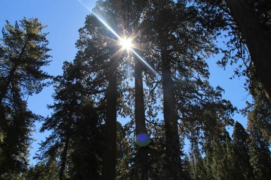 sun shining through top of sequoia trees