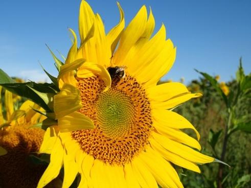 sun sun flower hummel