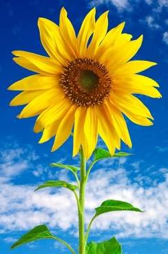 sunflower 01 hd picture