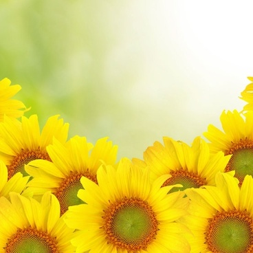 sunflower background 02 hd picture