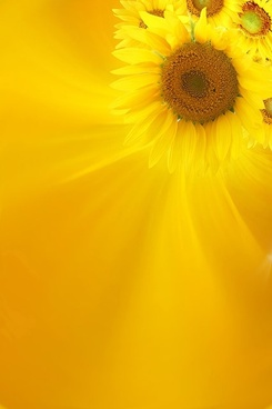 sunflower background image 10