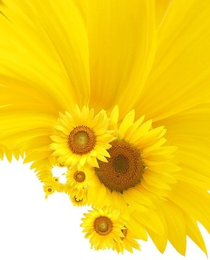 sunflower background image 12