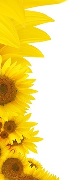 sunflower background image 2