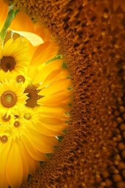 sunflower background image 3