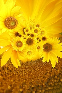 sunflower background image 4