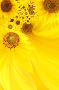 sunflower background image 5