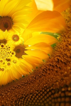 sunflower background image 6