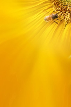 sunflower background image 8
