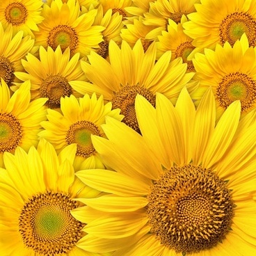 sunflower background picture