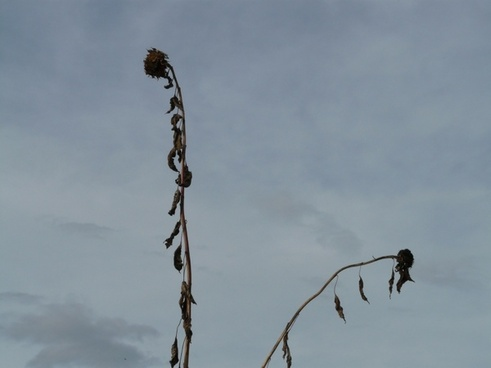 sunflower dry stranded tramples over