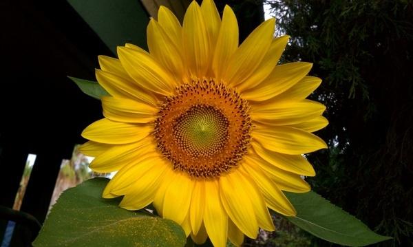 sunflower flowers helianthus