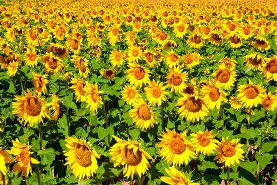 sunflower flowers of highdefinition picture