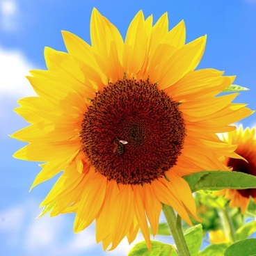 sunflower image 01 hd pictures