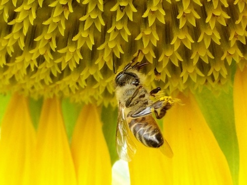 sunflower nature flowers