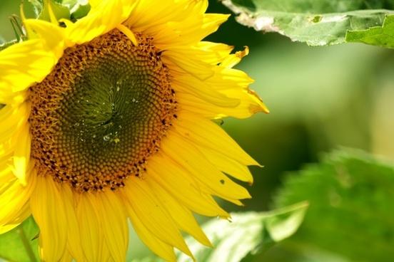 sunflower nectar pollen