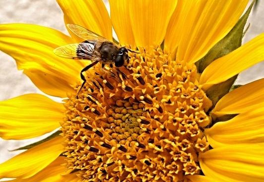 sunflower pest�enka