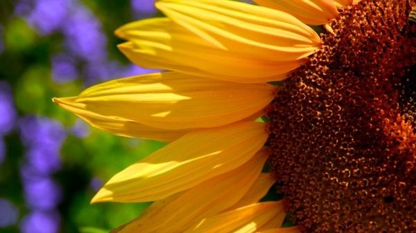 sunflower sun closeup