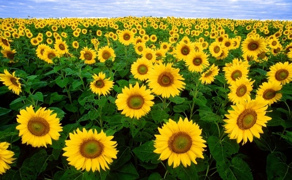 sunflower sunflower field flora