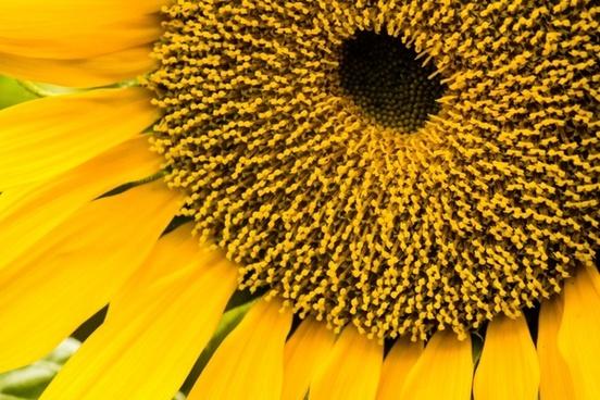 sunflower sunflower seeds plants