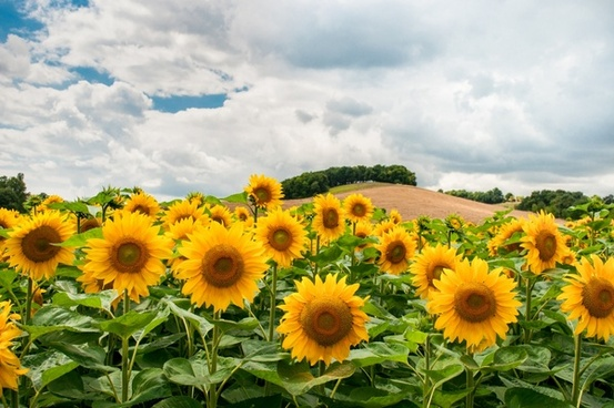 sunflowers and a hill