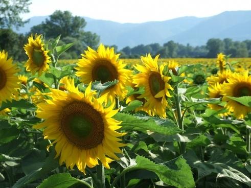 sunflowers happiness serenity