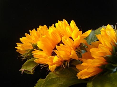 sunflowers season summer