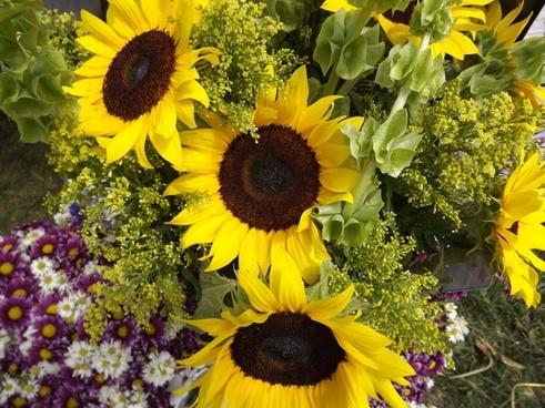 sunflowers sunflower plants