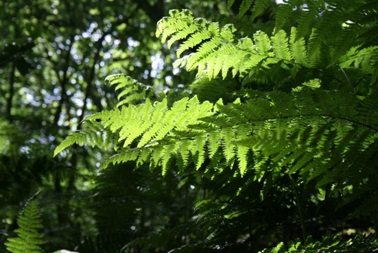 sunlight through fern