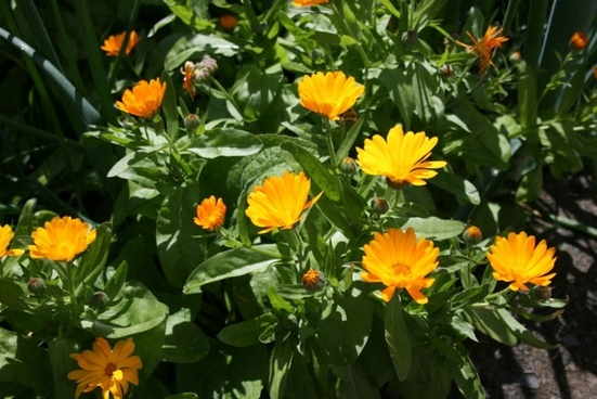 sunny marigold flowers