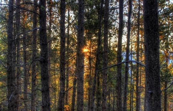 sunrise between the trees at mount elbert colorado