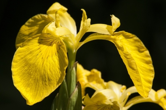 swamp iris iris pseudacorus yellow iris