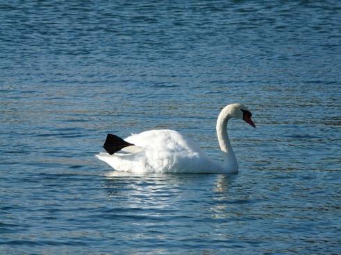 swan animal fauna
