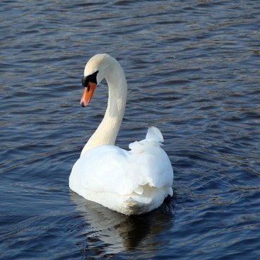 swan beauty nature