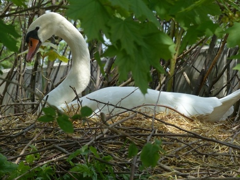 swan breed nest