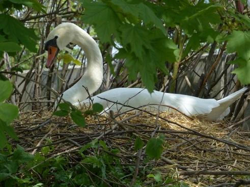 swan breed nest