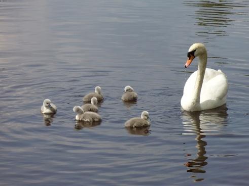 swan family swan swan mum