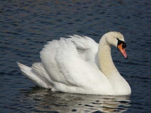 swan fareham creek bird