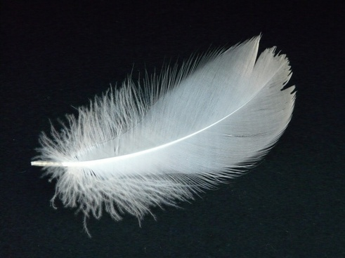 swan feather spring swan
