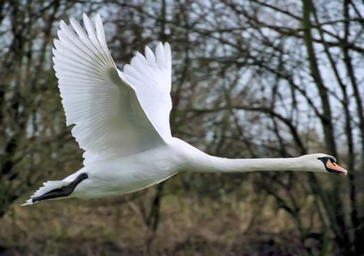 swan fly wing