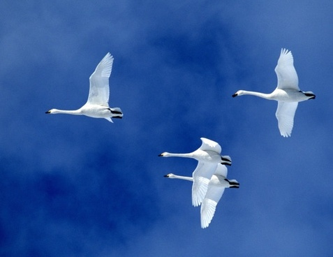 swan hd picture