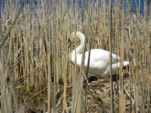 swan nesting pond