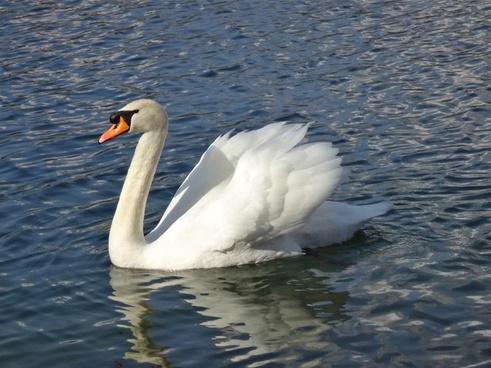 swan see white bird