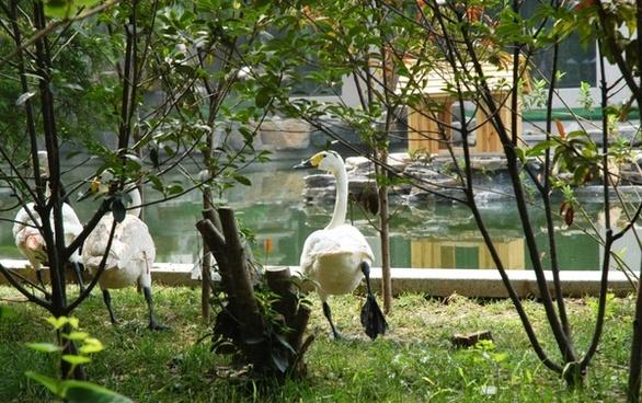 swan step