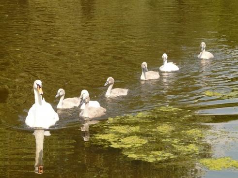 swan swan family water