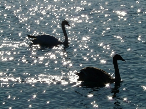 swan swans animal